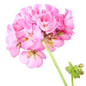 mellow skincare rose geranium essential oils